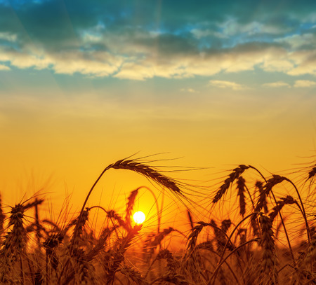 field with harvest at sunset Banque d'images