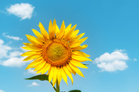 golden sunflower and blue sky as background. soft focus Stock Photo
