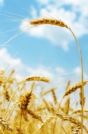 spica: espiga de color dorado sobre campo y el cielo azul con nubes. enfoque suave