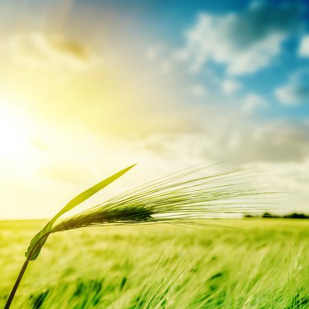 フィールドと日没を緑の小麦の穂。ソフト フォーカス