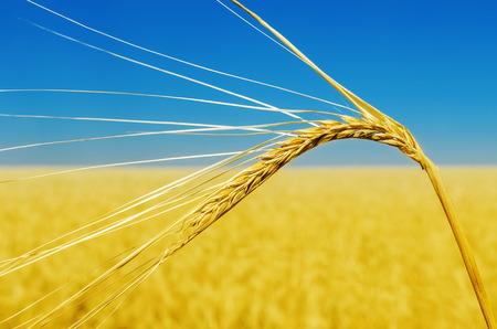 wheat ear close up and yellow field with blue sky like ukrainian flag photo