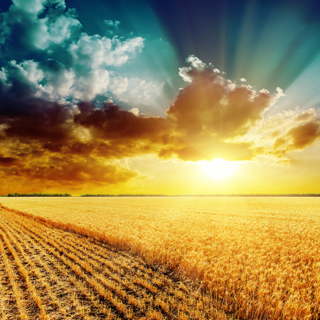 golden harvesting field and beautiful sunset over it 스톡 콘텐츠