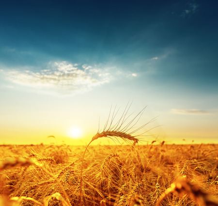 golden harvest under dark blue cloudy sky on sunset. soft focus on bottom of picture