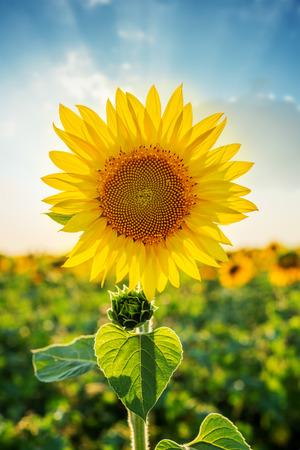 campo de flores: Primer del girasol en campo en la puesta del sol. enfoque suave