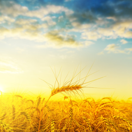 farm field: golden harvest on field under sunset with clouds. soft focus