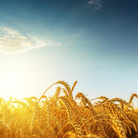 golden harvest on sunset
