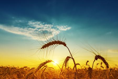 espiga de trigo: cosecha de oro bajo el cielo azul nublado en la puesta del sol. enfoque suave Foto de archivo