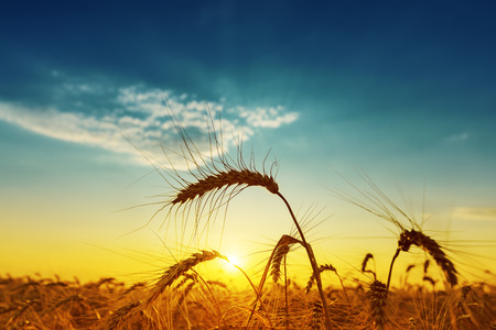grain fields: golden harvest under blue cloudy sky on sunset. soft focus
