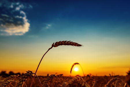 ear of wheat on field and sunset 스톡 콘텐츠