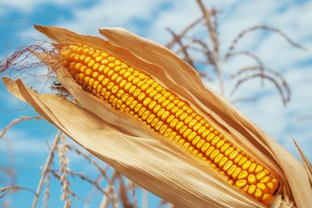 champ de mais: or le maïs de couleur sur le terrain