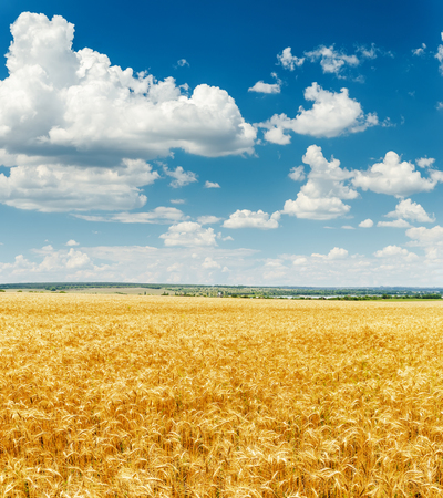 cielo de nubes: campo de la agricultura con la cosecha de oro y las nubes en el cielo azul Foto de archivo