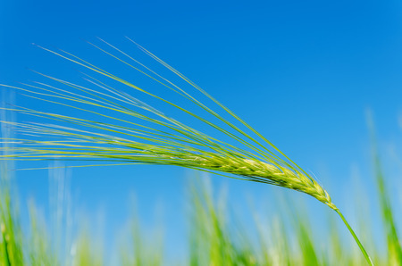 green landscape: green barley on field and deep blue sky