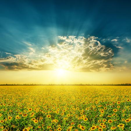 veld met zonnebloemen en zonsondergang in de wolken Stockfoto