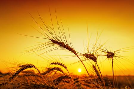 champ de mais: orange coucher de soleil sur un champ de récolte Banque d'images