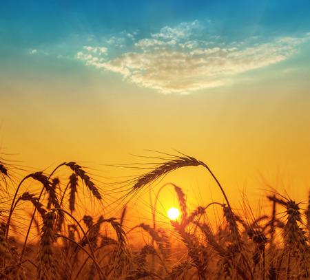 espiga de trigo: naranja puesta de sol en el campo con la cosecha Foto de archivo