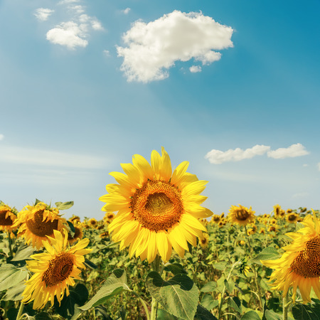 sunflowers on field under cloudy sky Stock Photo