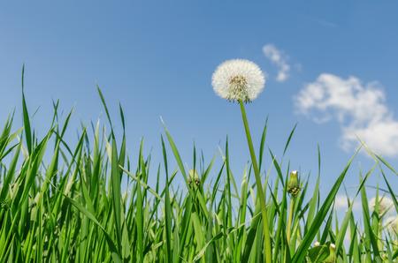 sky cloud: white dandelion in green grass