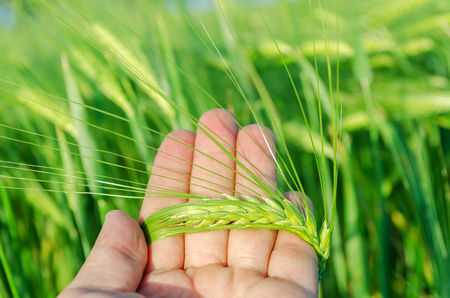 hand over: green rye in farmers hand over field