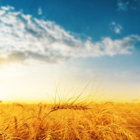 farm field: golden harvest and sunset. soft focus