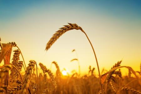 field sunset: golden harvest and sunset over field