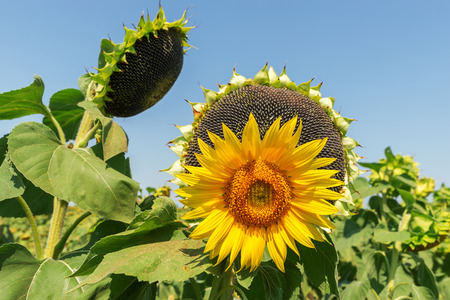 sunflower oil: flower of sunflower and black with seeds on background Stock Photo