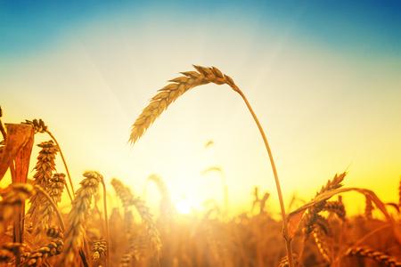harvest background: golden harvest on field. sunset time
