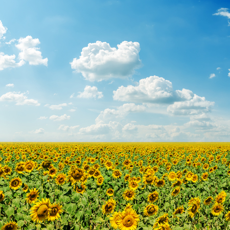 flower fields: clouds in blue sky and field with sunflowers Stock Photo