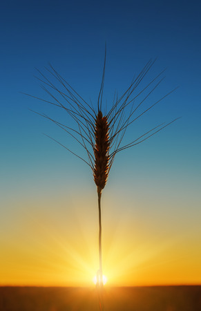 field sunset: sunset and harvest
