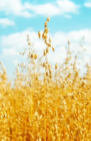 oats: field with oats golden color. soft focus Stock Photo