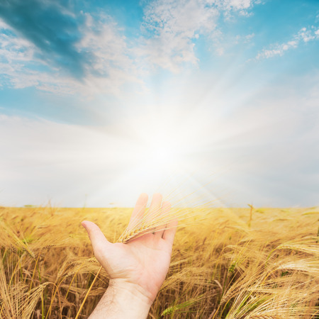 harvest field: hand with golden harvest over field show to sunset