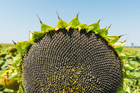 black seeds: black seeds in sunflower on the field