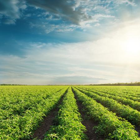 granja: campo agrícola con tomates verdes y puesta del sol en las nubes