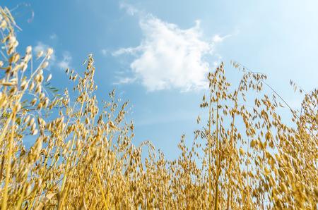 avena: cosecha de oro de avena en el campo