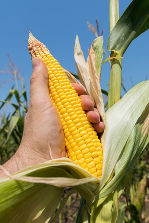 golden maize in farmers hand on field