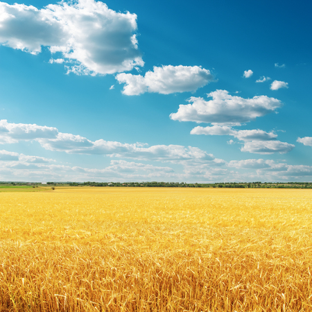 field crop: golden crop on field and deep blue sky with clouds