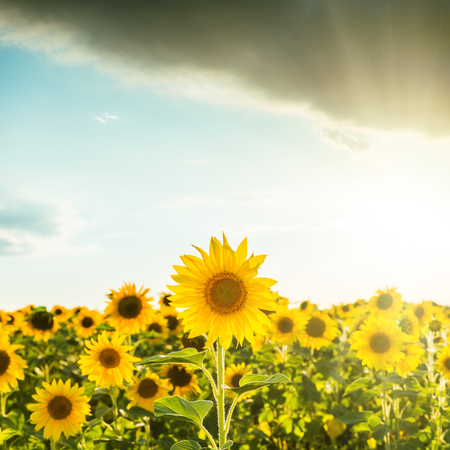 Sun flower: sunset over field with sunflowers