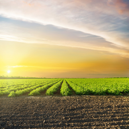orange sunset in clouds over green agriculture field with tomatoes Stockfoto