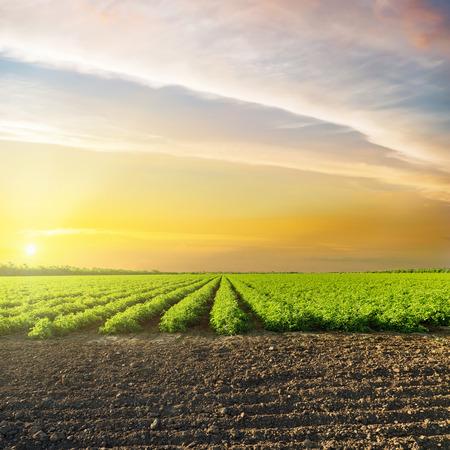 Pomarańczowy zachód słońca w chmurach nad pole zielone rolnictwo z pomidorów