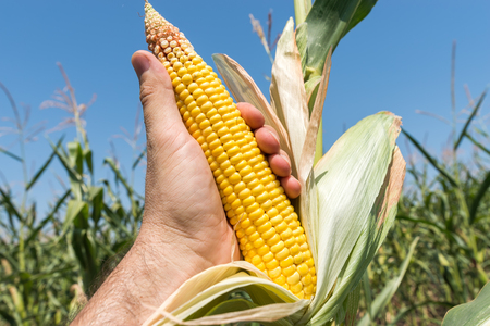 golden maize in hand over agriculture field