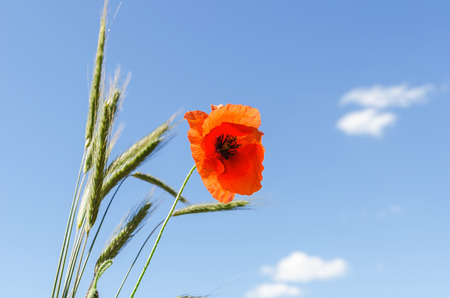 red flower of poppy and green harvest under blue sky with clouds