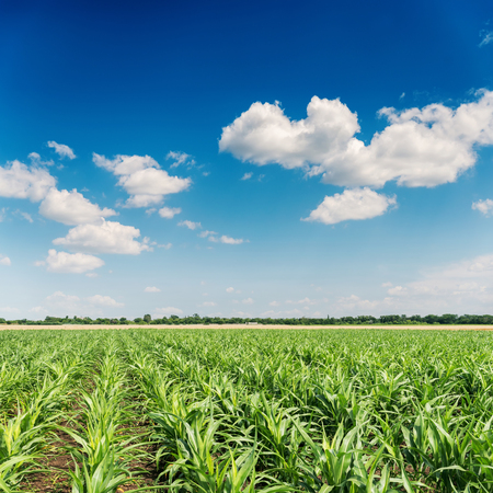 green corn on field and blue sky. agricultural industry
