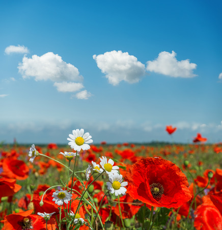 summer flowers in meadow and clouds over it. Poppy and chamomiles in sunny day