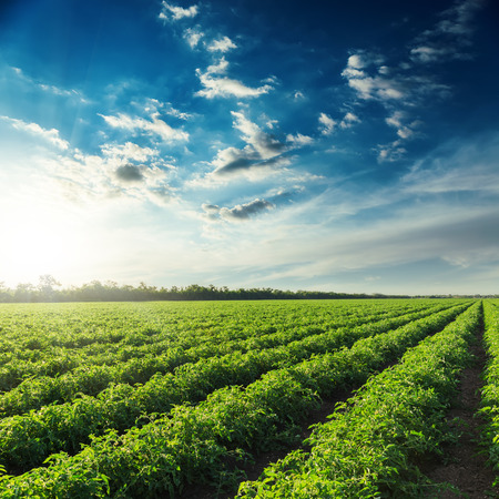 row with green tomatoes bushes and sunset in blue sky. Organic agricultural industry