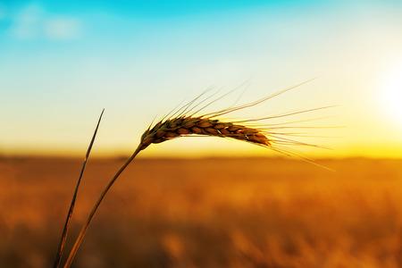 golden harvest in sunset time
