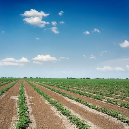 blue sky with clouds over agricultural green field with tomatoes. Irrigation system field. Reklamní fotografie