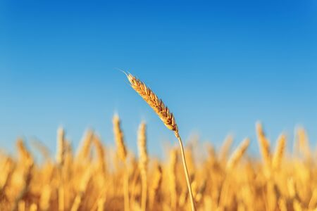 golden crop on field and blue sky in sunset time