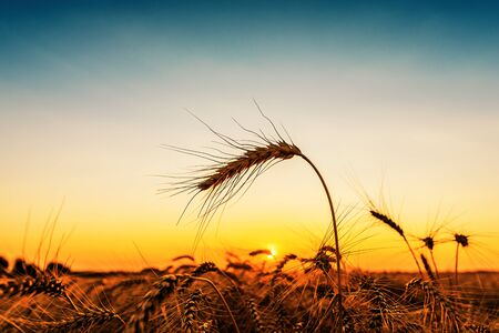 golden color ripe wheat on field in sunset Фото со стока