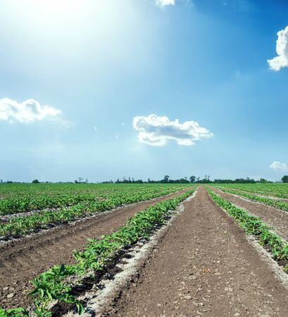 agriculture field with tomatoes and blue sky with clouds and sun Reklamní fotografie