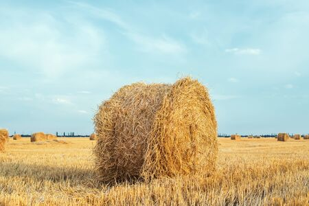 roll of golden straw in field after harvesting