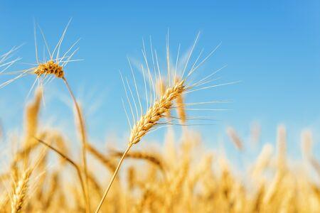 épis de blé de couleur dorée sur terrain sous ciel bleu Banque d'images